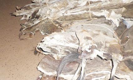 TRAFIC DE PEAUX ET DE CUIRS : L'âne en danger dans la Kossi