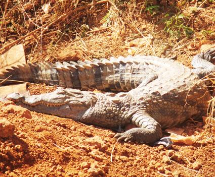 PARC URBAIN BANGR-WEOGO : Ces crocodiles qui suscitent curiosité et crainte