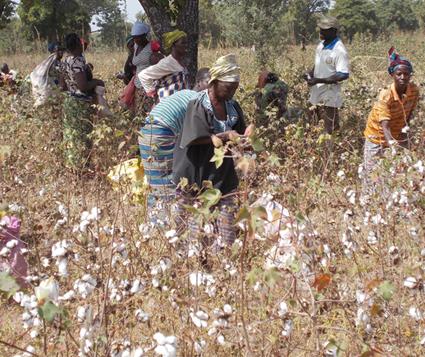 CRISE DU COTON A L'OUEST :  En attendant une solution, les paysans broient du noir