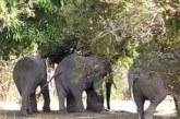 COMMUNE DE TIEFORA :  Au moins 4 personnes tuées par des éléphants